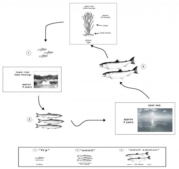 The diagrams below show the life cycle of a species of large fish essay topics the diagrams below show the life cycle of a species of large fish called the salmon ccuart Choice Image