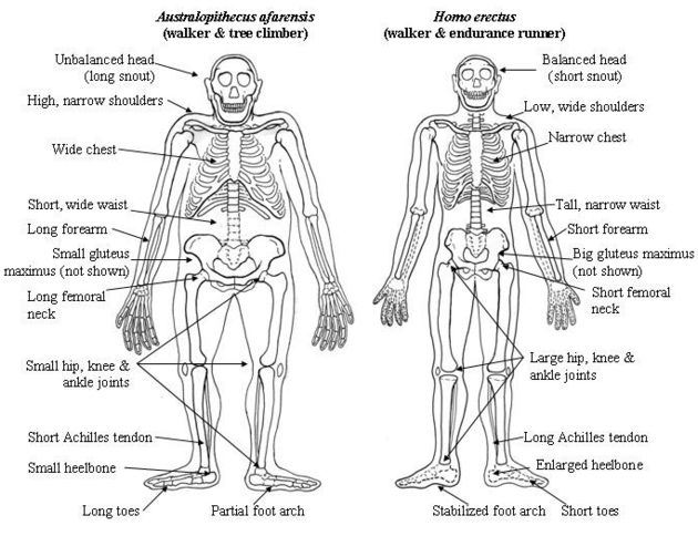 the diagram shows the skeletal systems of two ancestors of modern  essay topics the diagram shows the skeletal systems of two ancestors of modern human beings